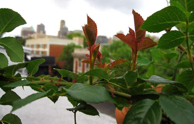 Подготовка роз к зиме. 5 важных рекомендаций