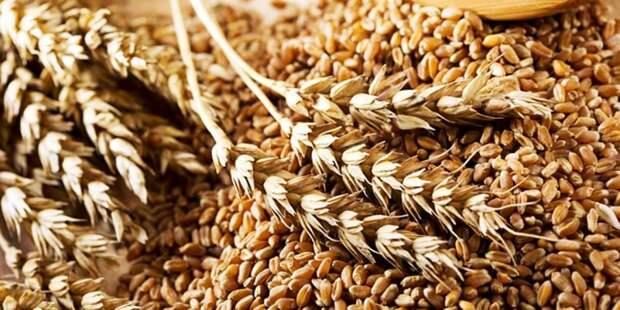 Миру нужна российская пшеница
