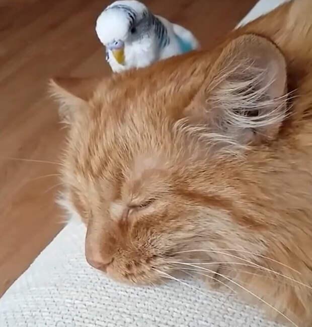 Попугай опекал котёнка и вырастил из него хулигана-подельника