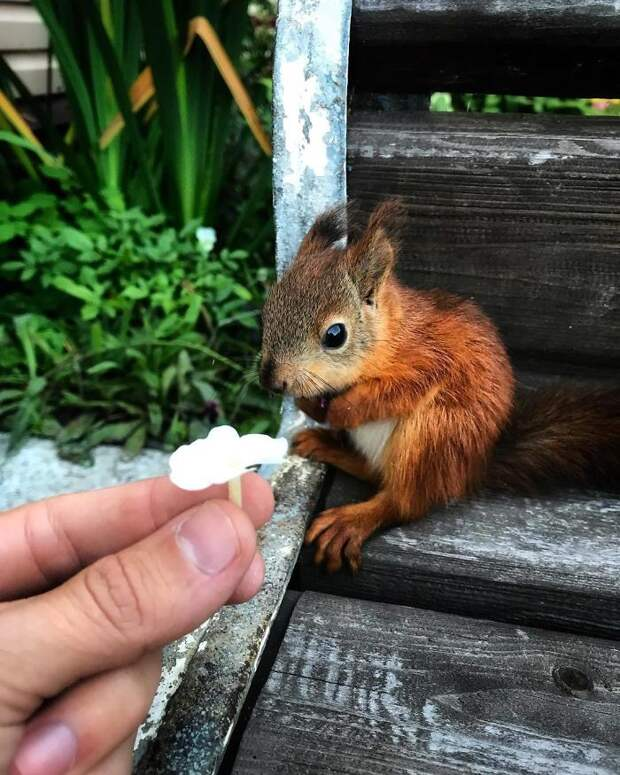 Вот как белка Чиппи наслаждается жизнью, после того как её спасли раненой сироткой в лесу