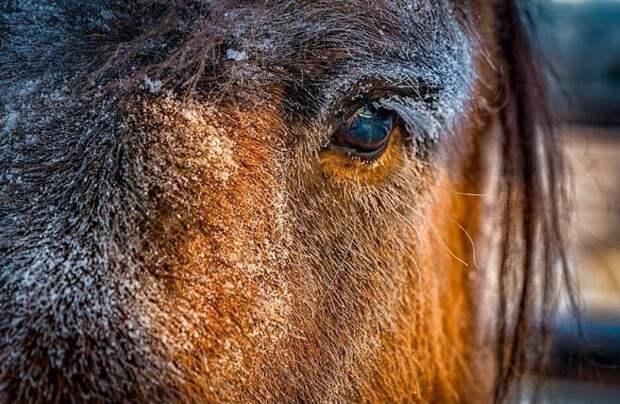 Удивительная порода, способная выдерживать сибирские морозы Порода, животные, лошадь, россия, саха, фото, якут, якутия