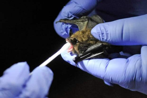 В Китае у летучих мышей обнаружен новый коронавирус