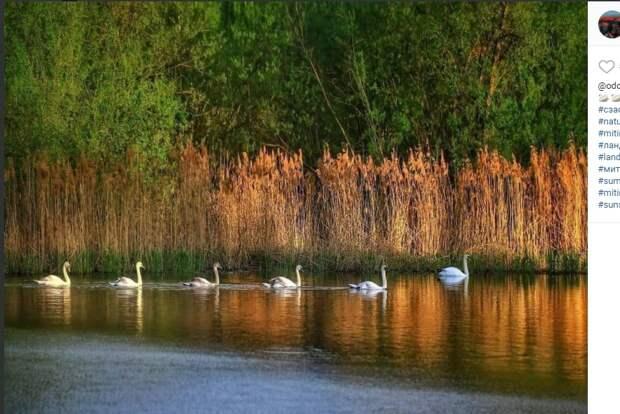 Фото дня: лебеди на марше