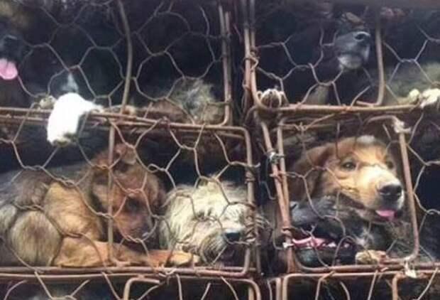 История о том, как парень и его друзья спасли почти 1000 собак от смерти.