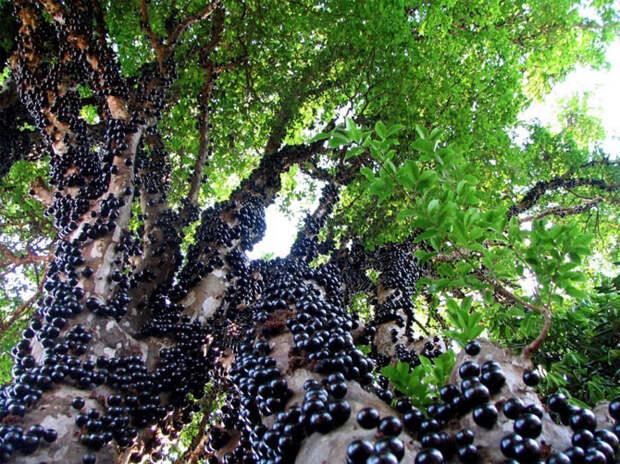 Жаботикакба (ягоды съедобны и очень вкусны) деревья, невероятное, природа, удивительное, флора