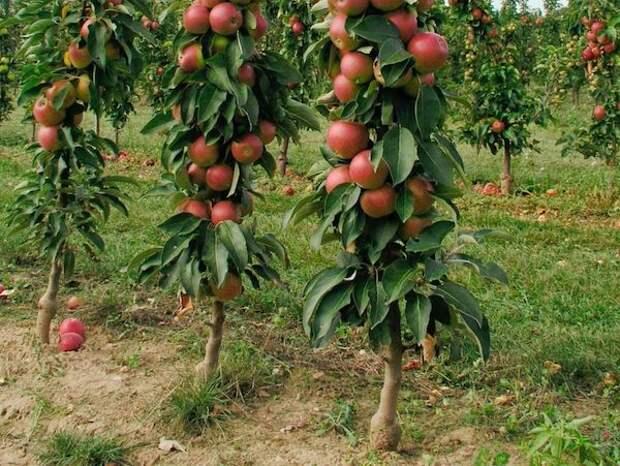Колоновидных яблонь стало больше