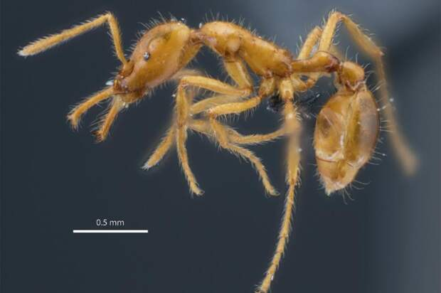 «Небинарный» муравей: впервые новый вид насекомых получил гендерно-нейтральное название