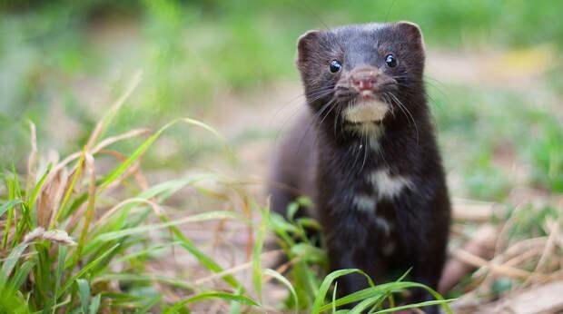 Не летучими мышами едиными: норки – новые разносчики коронавируса?