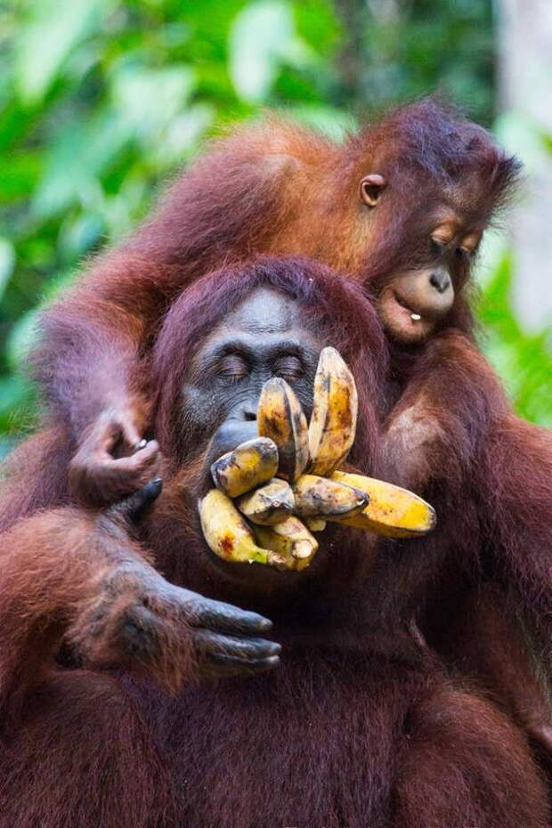 Ребенок орангутанга набивает рот своей матери бананами в национальном парке Танджунг Путин, Индонезия