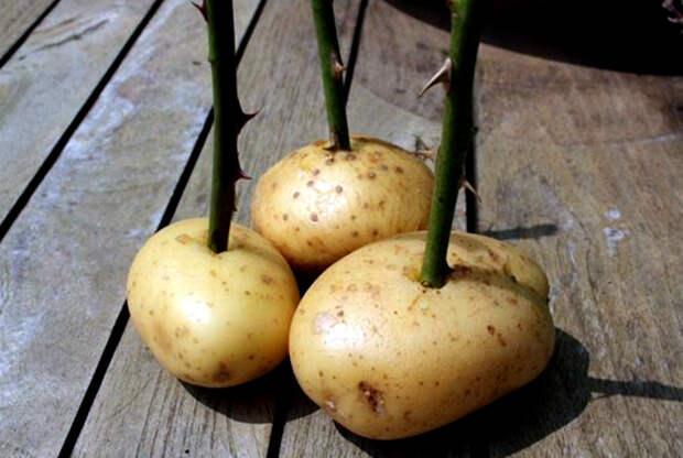 Черенки роз в картофеле. | Фото: Pinterest.