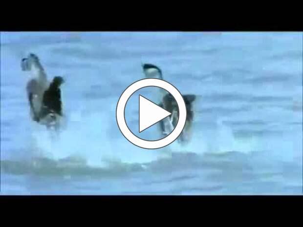 Вы когда-нибудь видели как гуси танцуют лезгинку?