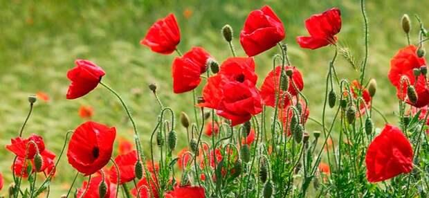 Лекарственное растение Мак самосейка (Papaver rhoeas)
