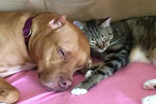 Щенок питбуля очень боялся кошек, пока не встретил настоящего друга на всю жизнь.