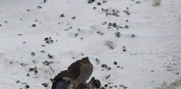 Ястреб полакомился голубем в Юрловском проезде