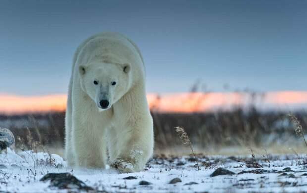Белый медведь хищник севера