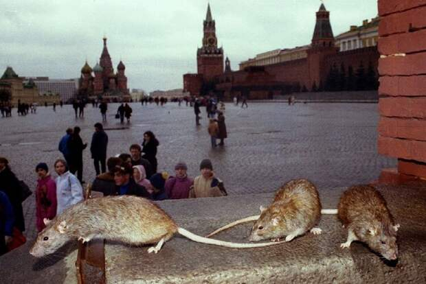 Poisoned rats gather outside the GUM department store on Moscow's Red Square March 23. The city has ..