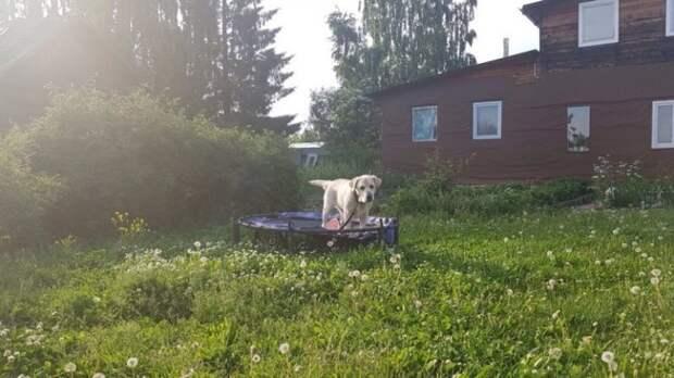 Пожилого и почти слепого лабрадора привязали у ворот приюта