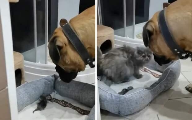 «Мать, корми детей»: пес заставил кошку вернуться в лежанку с котятами