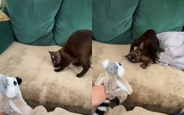 «Ты еще кто?»: пораженный плюшевым лемуром кот насмешит любого