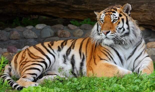 Взрослый амурский тигр живет в доме и спит в постели хозяина как обычный кот.
