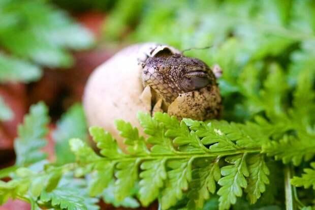 А вы видели, как появляются на свет водяные ящерицы? водяные агамы, животные, интересно, познавательно, рептилии, рождение ящерицы, таинства природы, ящерицы
