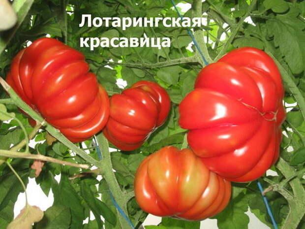 Томат сорт 'Beauty Lottringa Red' фото сайта sadik45.ru