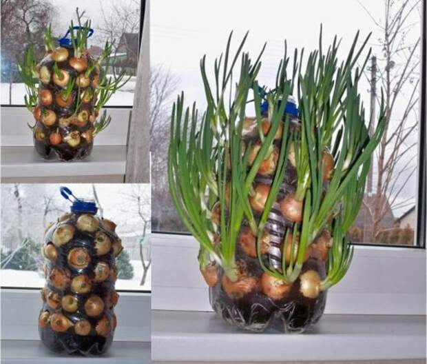 выращивание лука в на бутылке