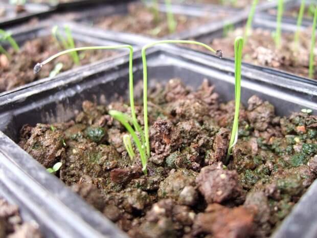 Растим лук без лишних мук
