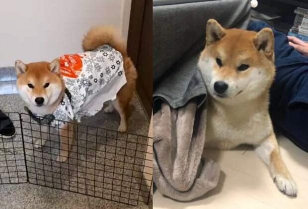 Хозяйка обдурила пса, но тот никак не мог поверить в её коварство
