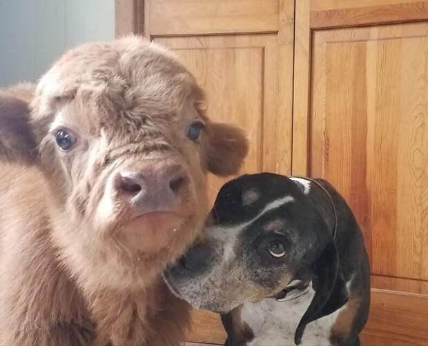 Невезучий теленок, выжил, не смотря ни на что