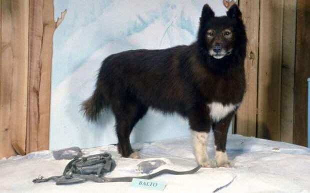 Саночная собака Балто