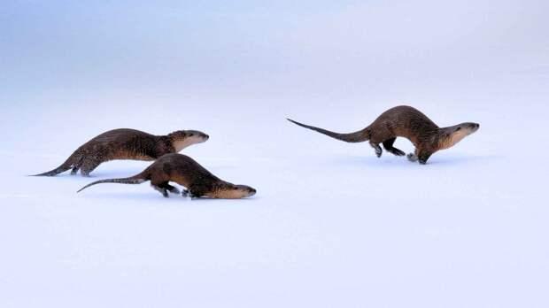 Выдры свободно могут передвигаться как по льду, так и по снегу