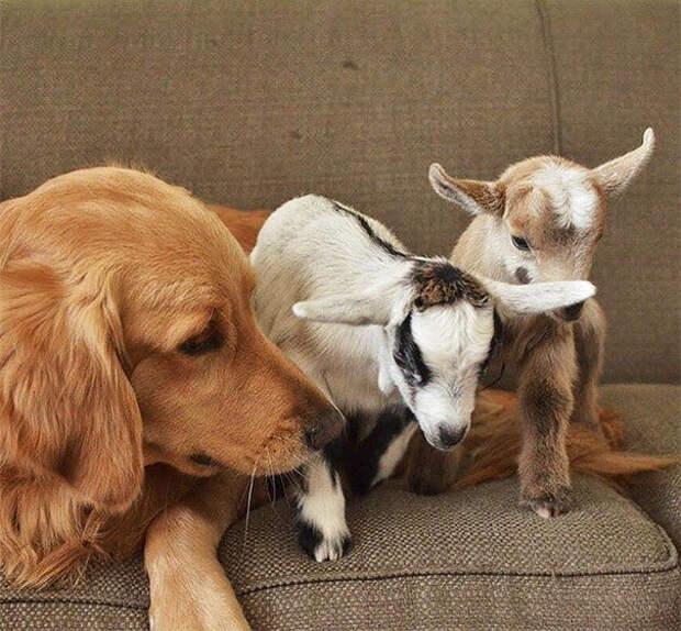 «Чужих детей не бывает!», — решила собака и стала мамой для козлят-сироток