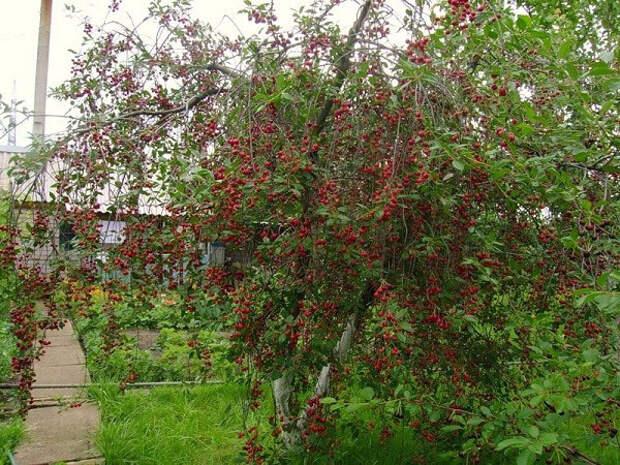 сорт вишни Любская