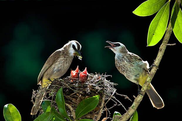 Оба родителя одинаково заботятся о маленьких птенцах.