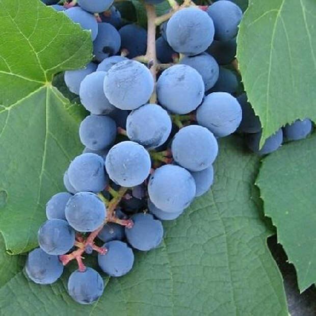 Личный опыт: выращиваем вместе розы и виноград
