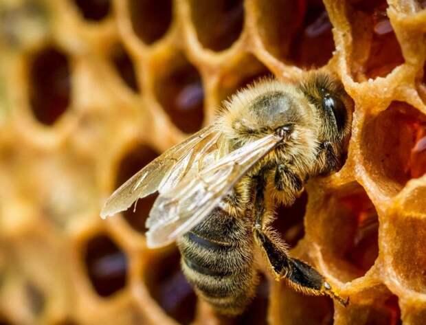 Медоносных пчел научили обнаруживать зараженные коронавирусом образцы