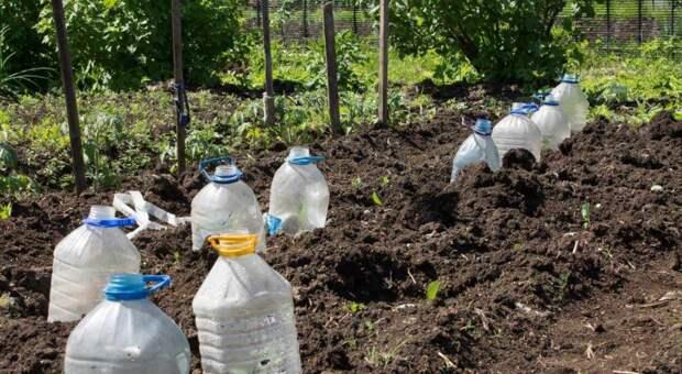 Сосед выращивает огурцы в бутылках. Перенял его опыт и ожидаю богатый урожай