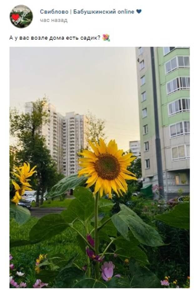 Фото дня: в Бабушкинском зацвели подсолнухи