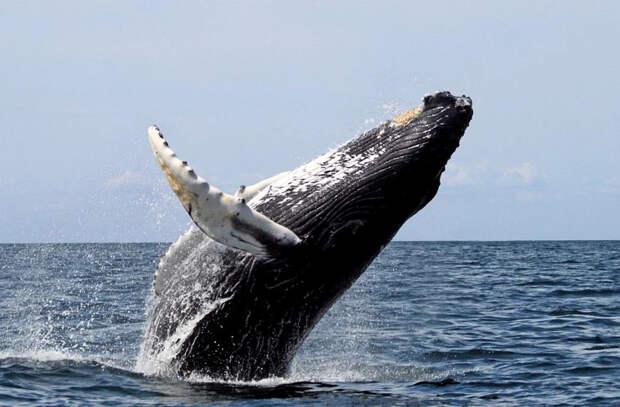 В Индийском океане обнаружили популяцию исчезающего вида китов
