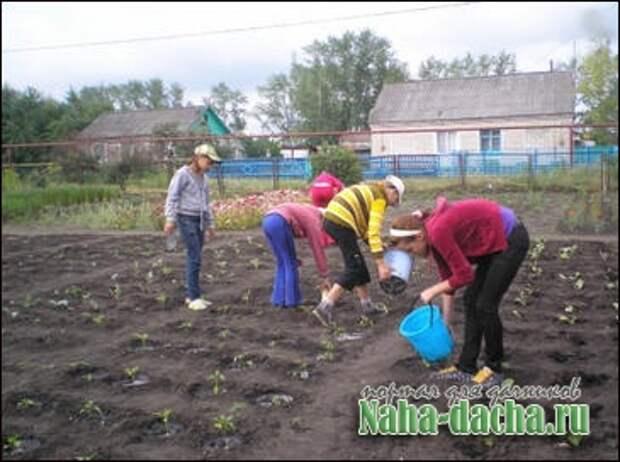 Выращивание капусты из личного опыта