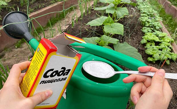 Добавляем пищевую соду в лейку и поливаем грядки: простая добавка для урожая
