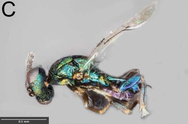 Euderus set 2017 год, биология, животные, новые виды животных, открытые животные, природа, фауна, эндемики