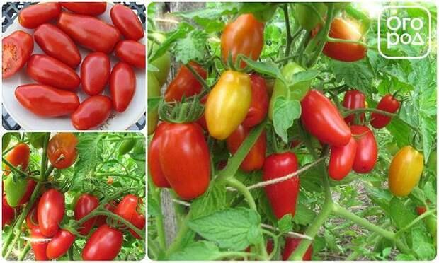 помидоры, томаты Красный клык