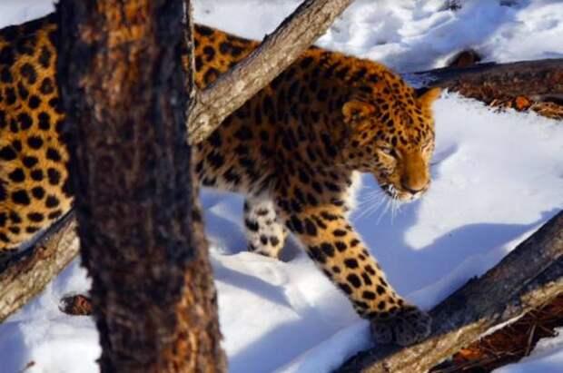 Браконьеры на «Земле леопарда» использовали необычное огнестрельное оружие