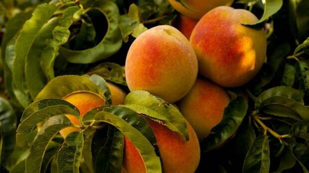 Мясников предупредил о смертельной опасности абрикосовых косточек для детей