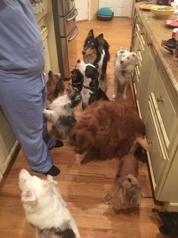 Каково это, когда в доме живёт больше двух собак (27 фото)