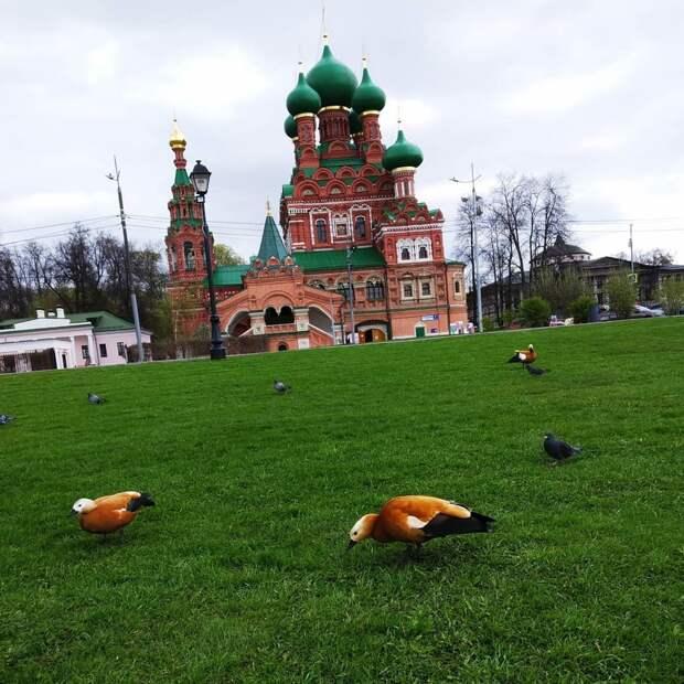 Фото дня: возле храма на 1-й Останкинской птицы облюбовали газон