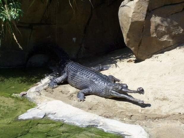 Гангский гавиал - речной динозавр