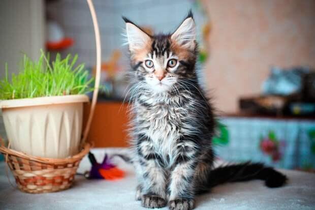 Названы любимые породы кошек у россиян в 2019 году